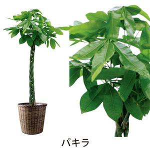 【パキラ】観葉植物・大鉢【送料無料】