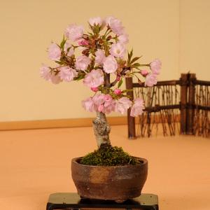 桜盆栽:一才桜(信楽焼小鉢)*【葉桜でお届け】【さくら盆栽】